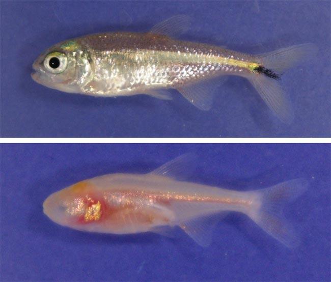 080125-blind-cavefish-02