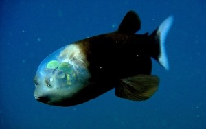 this-deep-sea-fish-sports-an-incredibly-unusual-see-through-head-3